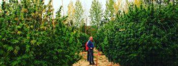 humboldt, seeds, organization, marijuana, cannabis, plants, weed, 420, хумбольдт, хорхе сервантес, плантация конопли, плантация, сады, высокие кусты марихуаны, кусты марихуаны, кусты конопли,